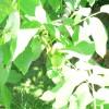 Zöld dió- befőtt, likőr, pálinka és a diólevél