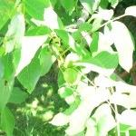 Zöld dió- befőtt, likőr, pálinka és a dió levél
